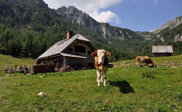Ko sem ljubko in zvedavo kravo na Konjščici v deliriju pozdravil »Čao, pi...« in so me slišali, je bilo jasno, da nisem več pri sebi. Foto: Kraji.eu