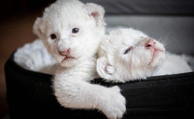 V živalskem vrtu francoskega mesta Mailleraye-sur-Seine si lahko po novem ogledate dva bela levja mladiča, ki so ju poimenovali Nala in Simba. Skotila sta se konec julija. FOTO: Lou Benoist/AFP