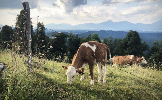 Krave bi se morale seliti tudi po poljih. FOTO: Jure Eržen/Delo