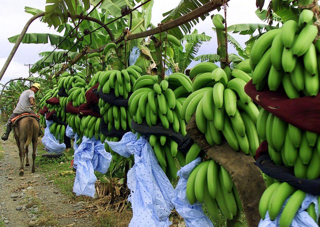 Uničujoča bolezen napadla še kolumbijske banane