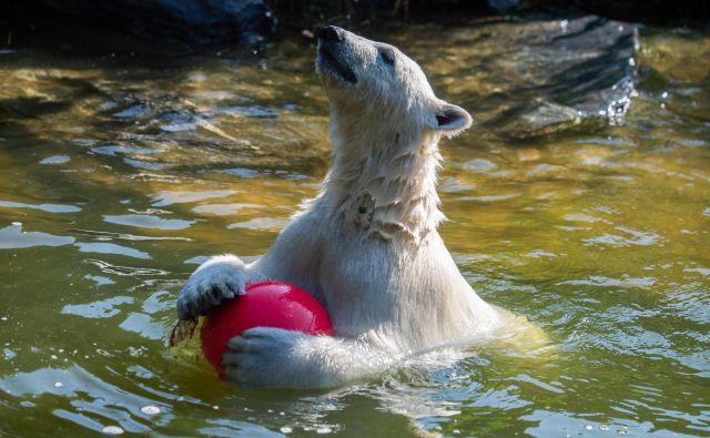 Zaradi naraščajočih temperatur in taljenja morskega ledu bodo polarni medvedi morda že čez nekaj let živeli le še v živalskih vrtovih. FOTO:John Macdougall Afp