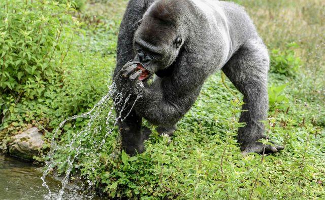 Pogled na gorilo med pitjem vode v belgijskem živalskem parku Pairi Daiza v Brugelettu. FOTO: Philippe Huguen/AFP