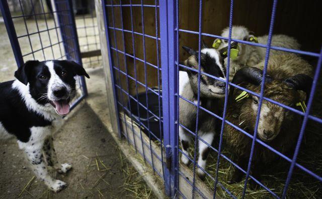 Najbolj učinkoviti ukrepi za zaščito drobnice so ograje in pastirski psi, še najboljša pa je kar njuna kombinacija.