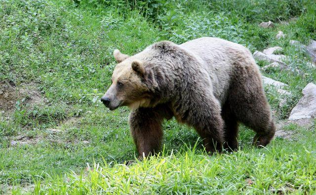 V narodnem parku se bolj ali manj stalno zadržuje od pet do deset rjavih medvedov, nekateri na območju prebivajo stalno, drugi ga obiščejo občasno oziroma ga zgolj prečkajo. FOTO: Ljubo Vukelič/Delo