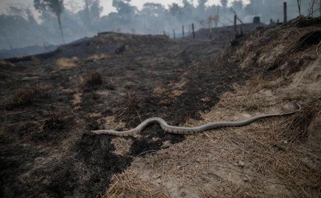 A snake is seen while a tract of the Amazon jungle burns as it is cleared by loggers and farmers in Porto Velho, Brazil August 24, 2019. REUTERS/Ueslei Marcelino - RC13C6B999B0 Foto Ueslei Marcelino Reuters