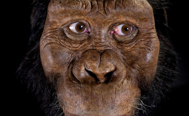 Fosil pripada starodavnemu homininu, Australopithecus anamensisu, za katerega znanstveniki verjamejo, da je neposredni prednik znane človečnjakinje Lucy (Australopithecus afarensis). FOTO: Reuters