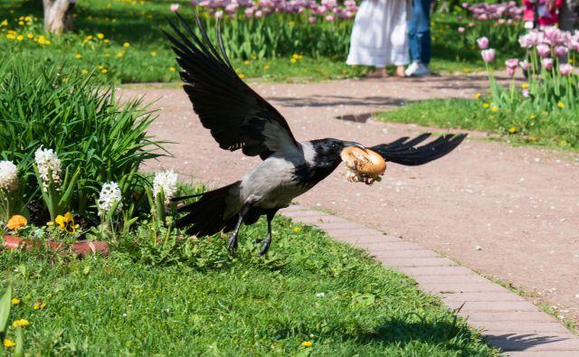 Raziskovalci so preučevali tudi prehrano ptic v mestu in ugotovili, da jim še posebej tekne hitra prehrana. FOTO: Shutterstock