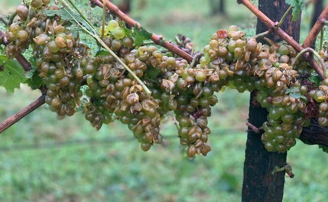 V prihodnjih treh tednih bo suho in lepo vreme ključno za dobro kakovost grozdja. FOTO: David Kozinc