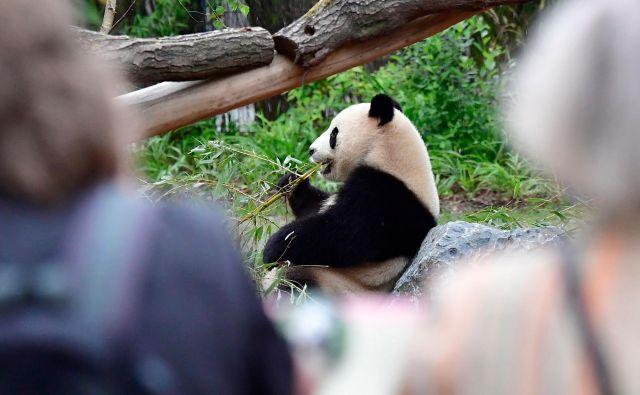 Ena od posledic trgovinske vojne bi lahko prizadela tudi ameriške živalske vrtove, katerih sporazumi s Kitajsko o izposoji velikih pand kmalu potečejo, in vprašanje je, ali jih bodo obnovili. FOTO: Tobias Schwarz/AFP