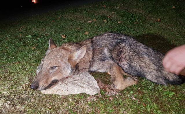 Na Cerkljanskem so odstrelili volka. FOTO: Marko Gasser/Facebook