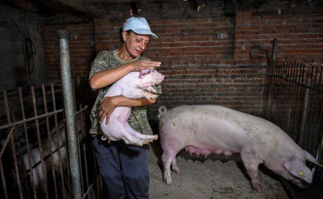 Vanja Dimitrova noče pobiti svojih zdravih prašičev. FOTO: Nikolay Doychinov/ AFP