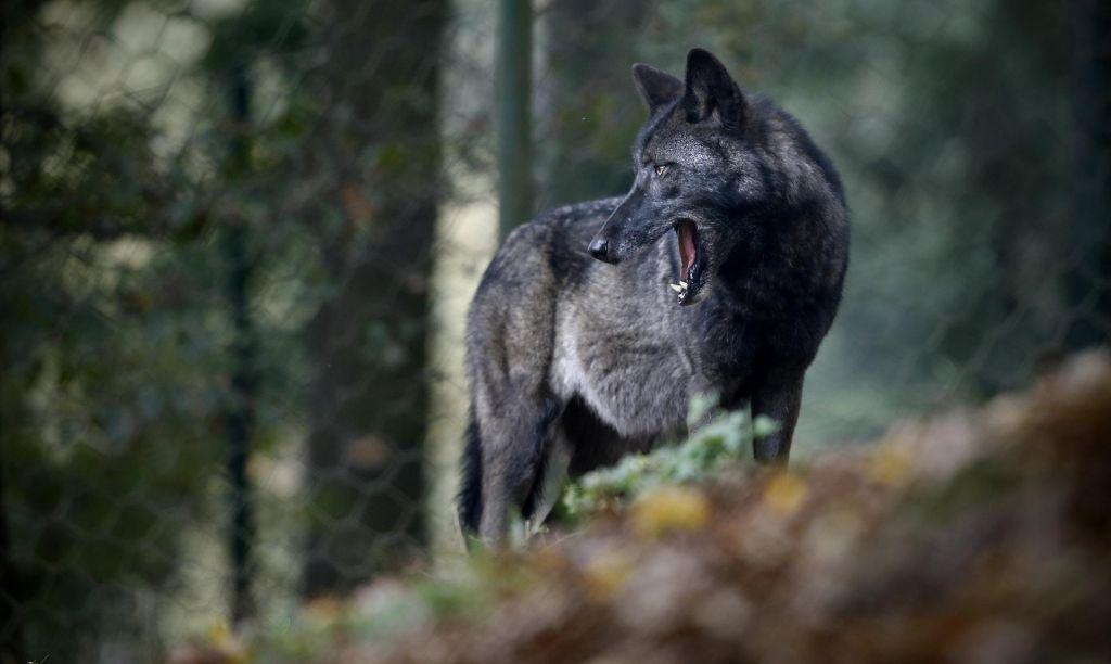 Volk se požvižga na črto na zemljevidu