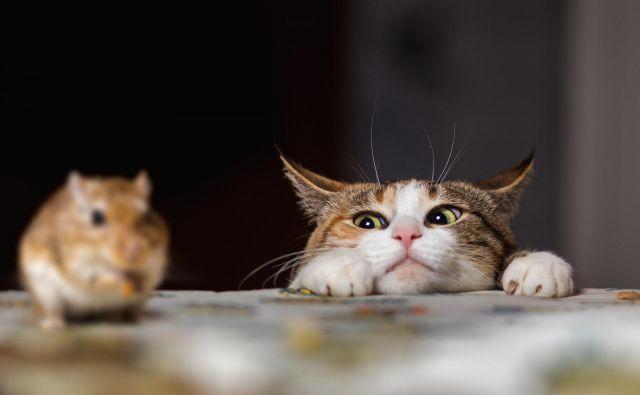 Lastniki mačk v Avstraliji bodo morali upoštevati policijsko uro. FOTO: Shutterstock