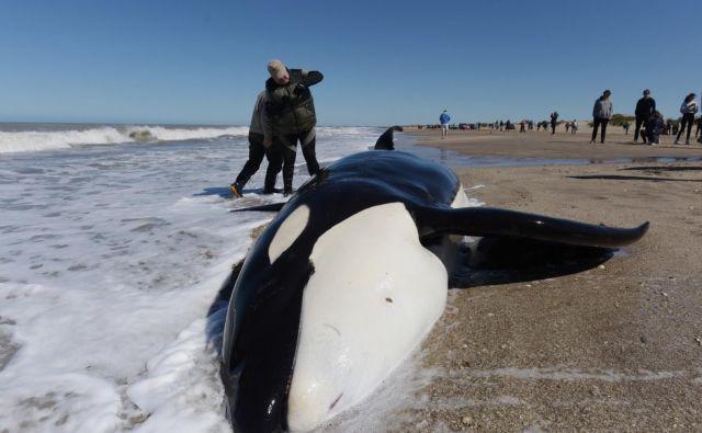 Na plaži Mar Chiquita v bližini Buenos Airesa je nasedlo sedem kitov ubijalcev. Od sedmih so uspeli rešiti šest kitov, ki so jih člani obalne straže, gasilci in prostovoljci uspeli vrniti nepoškodovane nazaj v morje. FOTO: Mara Sosti/AFP
