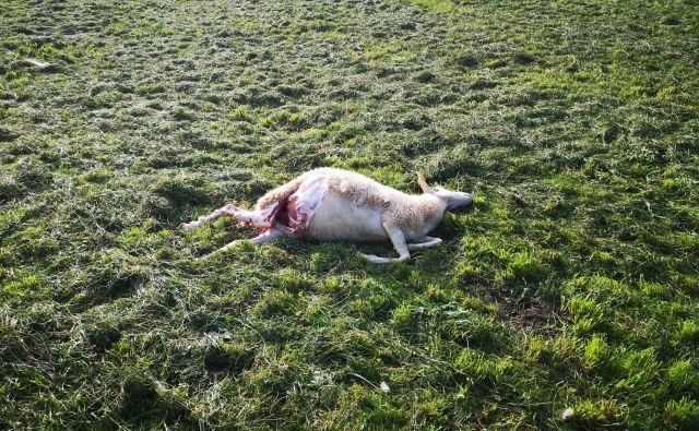Gre za pokol plemenske drobnice, po doslej zbranih podatkih 16 živali. FOTO: Občina GVP