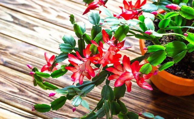 Božični kaktusi izvirajo iz bolj vlažnih krajev, zato jih moramo v primerjavi z drugimi sukulentami pogosteje zalivati. FOTO: Shutterstock