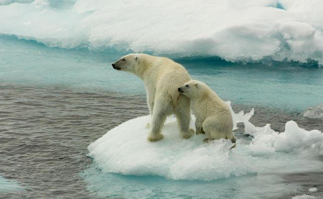 Polarni medvedi so simbol podnebnih sprememb. Foto Larissa Beumer/Greenpeace