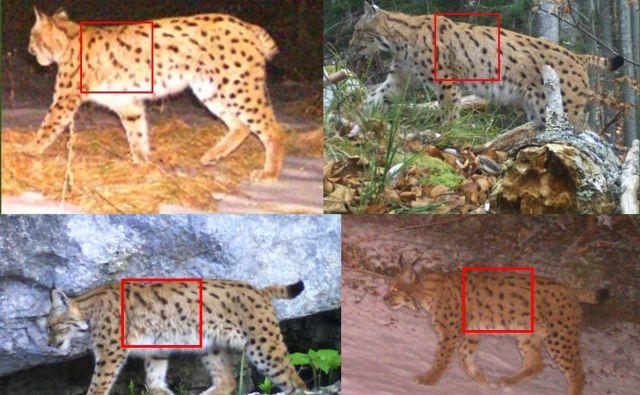 Rise na posnetkih so prepoznavali s primerjavo vzorca kožuha. Rdeči kvadrat prikazuje, kako so prek vzorca na delu telesa primerjali posnetka istega (zgoraj levo in desno) in drugega (spodaj levo in desno) risa. FOTO: Life Lynx