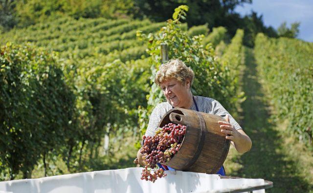 1800 pridelovalcev je registriranih za stekleničenje vina. Foto Leon Vidic
