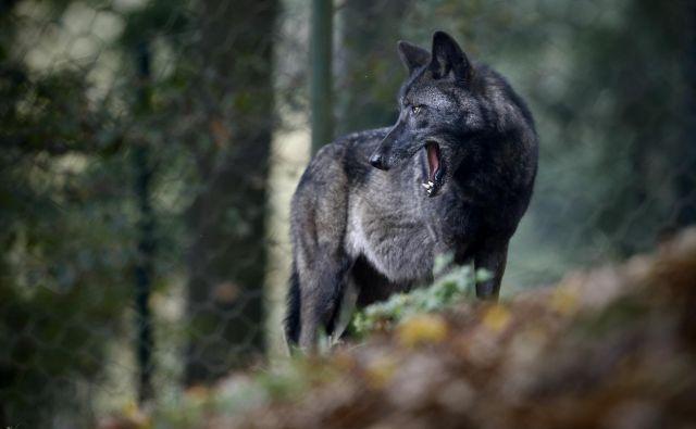 Z mrežo nočnih kamer, ki jih upravlja naravovarstvena agencija ANB (Het Agentschap voor Natur en Bos), so volkuljo Nayo nazadnje posneli maja, odtlej ni novic ne o njej ne o mladičih, za katere je skrbela. FOTO: Bla�ž Samec/Delo