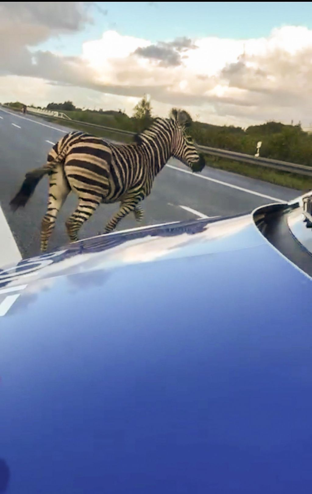Zebra ušla na avtocesto, policisti so jo ustrelili