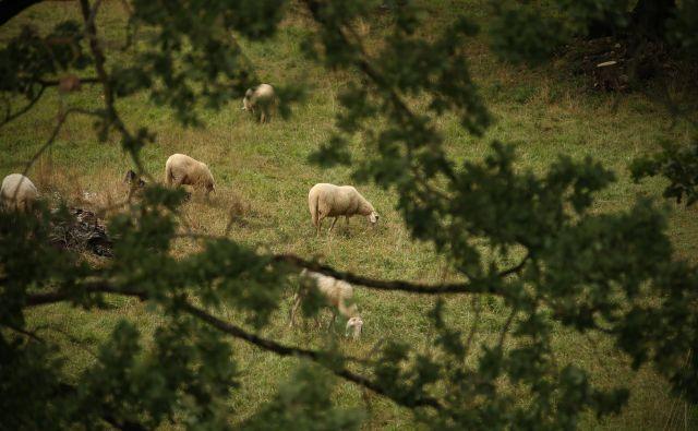 Irena Komac: »Čreda ovac, kjer kmet spremlja vsako žival od rojstva do smrti, je njegov kruh in na neki način njegova vzporedna družina.«