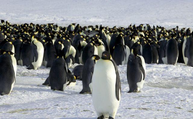 Cesarski pingvini mladiče vzgajajo v velikih kolonijah, ki jih ogrožajo podnebne spremembe. FOTO: Stringer/Reuters