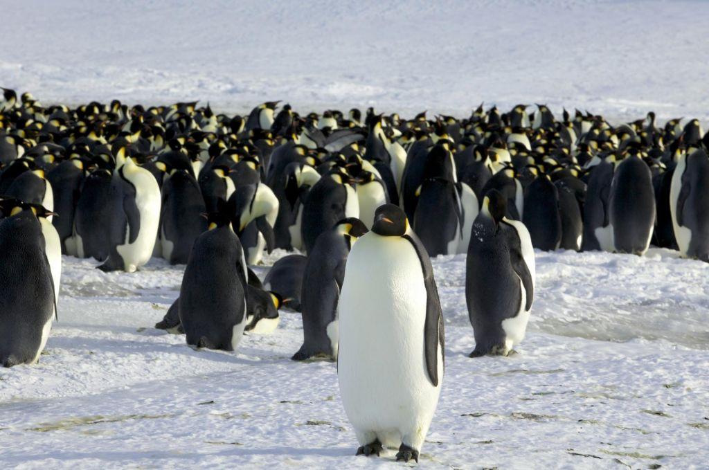 Cesarski pingvini so vedno bolj ogrožena vrsta