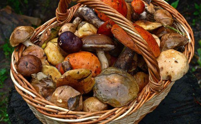 Vsak ljubiteljski nabiralec mora vedeti, da lahko nabere največ 2 kilograma gob, kostanja, borovnic, malin, robidnic, gozdnih jagod, brusnic, mahov in največ 1 kilogram čemaža. FOTO: Shutterstock
