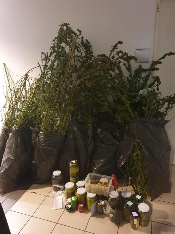 Policisti so mu zasegli kar 430 sadik konoplje