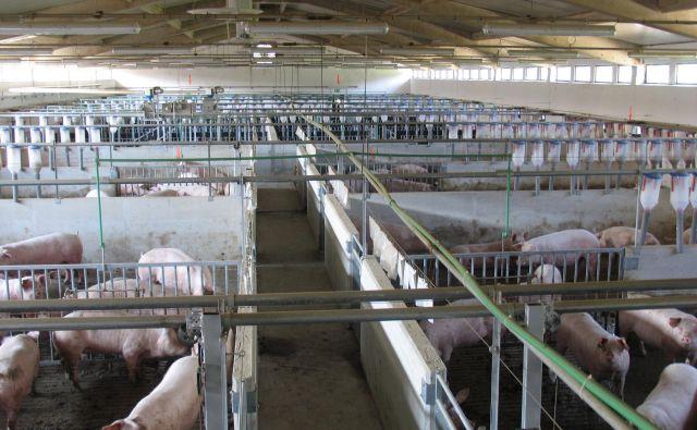Podjetje Farme Ihan velja z glavnima farmama v Kočevju in Krškem za največjo rejko v državi, saj ima na leto skupaj okoli 90.000 prašičev. Foto arhiv podjetja