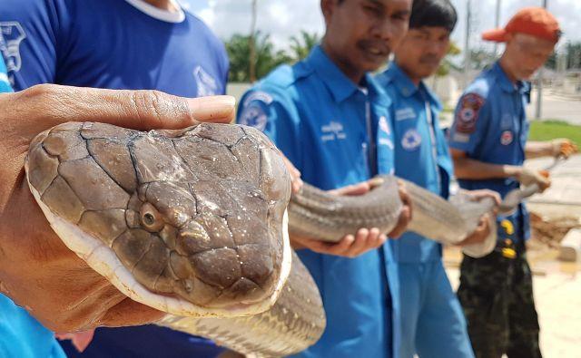 Člani fundacije za reševanje Krabi Pitakpracha so v kanalizaciji v tajskem mestu Krabi ujeli štiri metre dolgo kraljevo kobro, ki so jo našli v kanalizaciji v Krabiju. To je ena največjih kraljevih kober, ki so jo kdeajkoli odkrili. FOTO: Handout/AFP