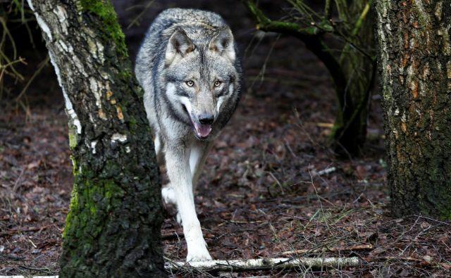 Napad volka se je zgodil v neposredni bližini osrednjega prireditvenega prostora v vasi. FOTO: Reuters
