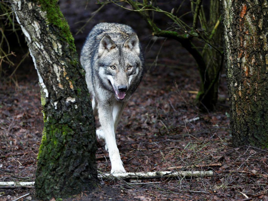 Volk prvič napadel tudi na Idrijskem