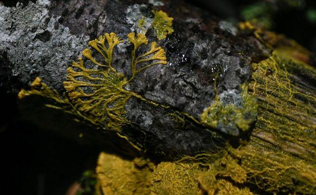 Blob ali <em>Physarum Polycephalum</em>FOTO: Stephane De Sakutin/AFP
