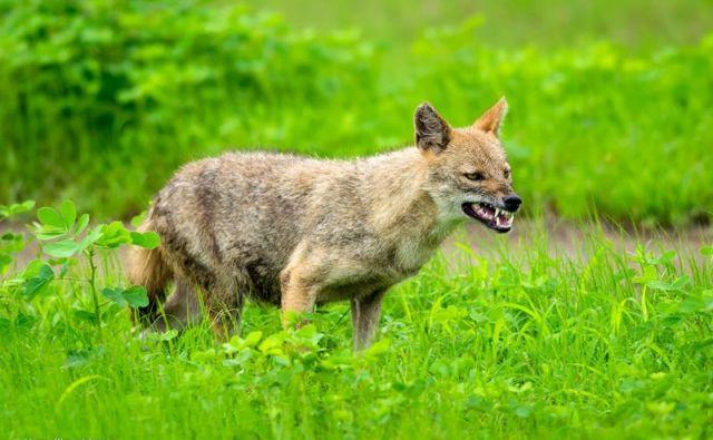 Zlati ali navadni šakali (<em>Canis aureus</em>) spada v družino psov FOTO: Hiren Khambhayta