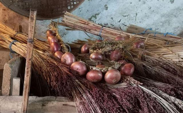 Ptujski lük pridelujejo po tradicionalnih postopkih že več kot 200 let, ponekod celo 300 let. FOTO: Samanta Gomboc