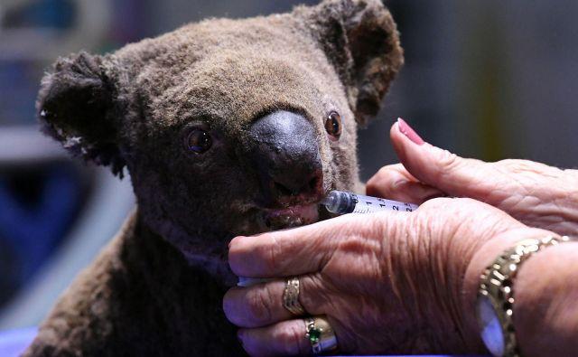 Dehidriran in poškodovan samec koale se zdravi v bolnišnici za koale v mestuPort Macquarie FOTO: Saeed Khan AFP