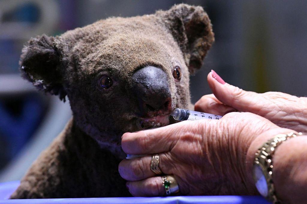 FOTO:V požarih poginilo na stotine koal. Samec na fotografiji je imel srečo