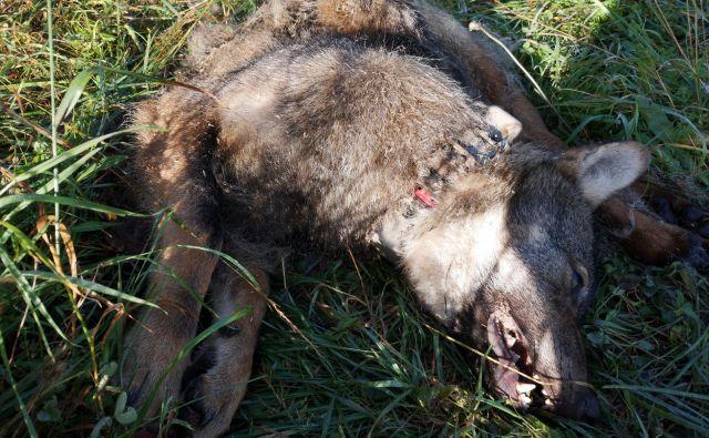 """""""Projektni"""" volk je bil ustreljen v lovišču s posebnim namenom Snežnik, za katerega skrbi Zavod za gozdove Slovenije. FOTO: Jaka Črtalič, projekt Carnivora Dinarica"""
