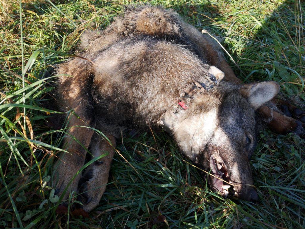 Policija preiskuje sum nezakonitega odstrela dveh volkov