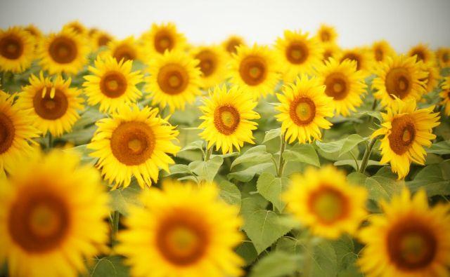 Zbirka je dobila naslov po verzu Eugenia Montaleja o sončnicah.<br /> Foto Jure Eržen
