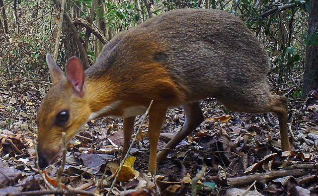 Ker vrste niso zaznali vse od leta 1990, so znanstveniki sklepali, da jo je lov potisnil do roba izumrtja. FOTO: AFP