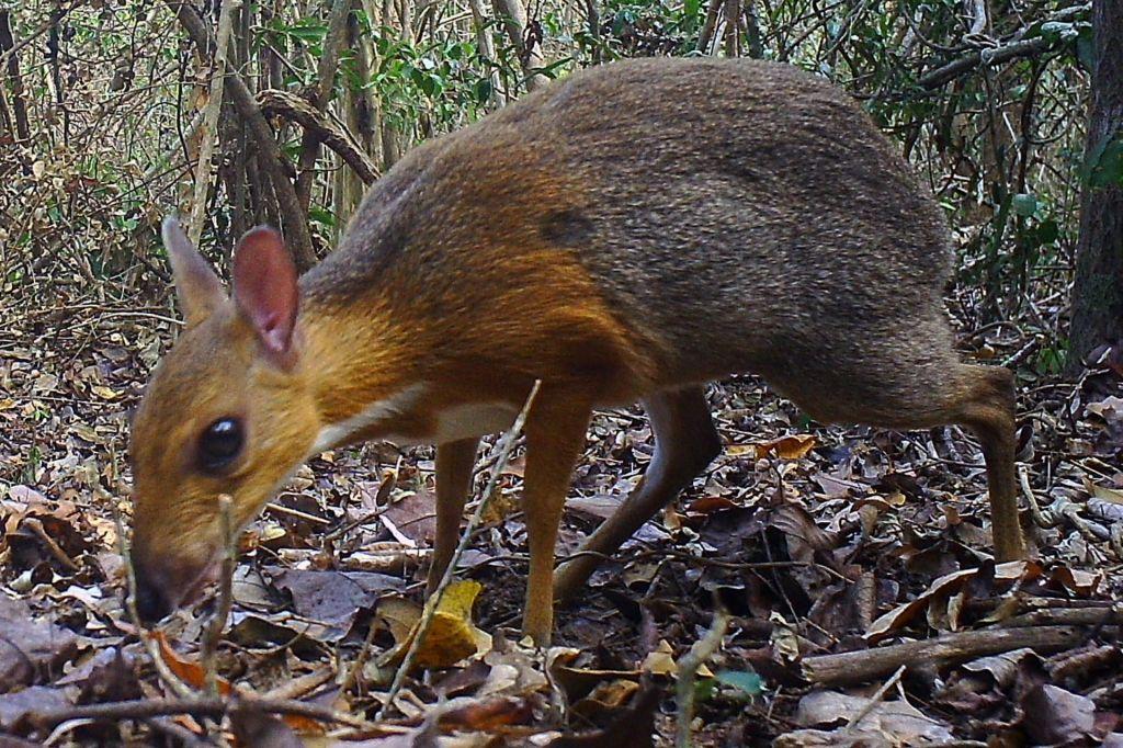 Miniaturni »mišji jelen« le ni izumrl