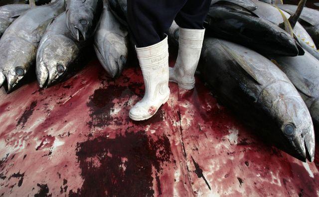 Najbolj ogrožene so ribe, večje od poldrugega metra, med njimi še posebno tuni, ki so komercialno med najbolj cenjenimi in lovljenimi. Modroplavuti tun je že kritično ogrožen. FOTO: Reuters
