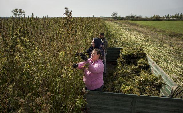 Pridelava in predelava industrijske konoplje v Slavoniji. Pri nas smo zadaj. FOTO: Voranc Vogel/Delo
