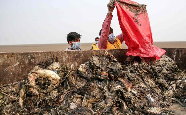 V največjem indijskem celinskem jezeru s slano vodo, ki se nahaja v severni indijski zvezni državi Rajasthan, je bilo najdenih na tisoče mrtvih ptic selivk, ki naj bi poginile zaradi suma na botulizem. FOTO: Himanshu Sharma/AFP<br />