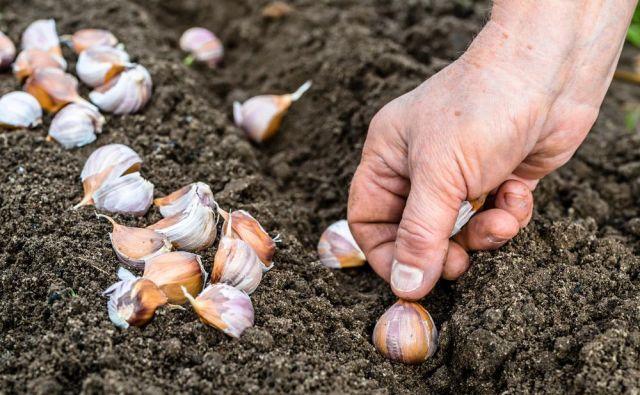 Česen sadimo s koničastim delom stroka navzgor. Foto: Shutterstock