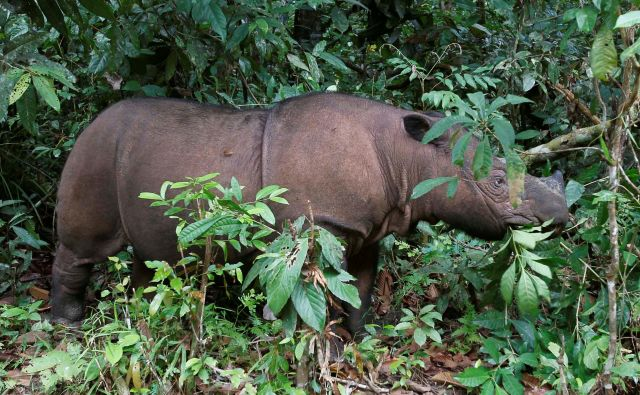 Sumatranski nosorogi so kritično ogroženi. FOTO: Reuters