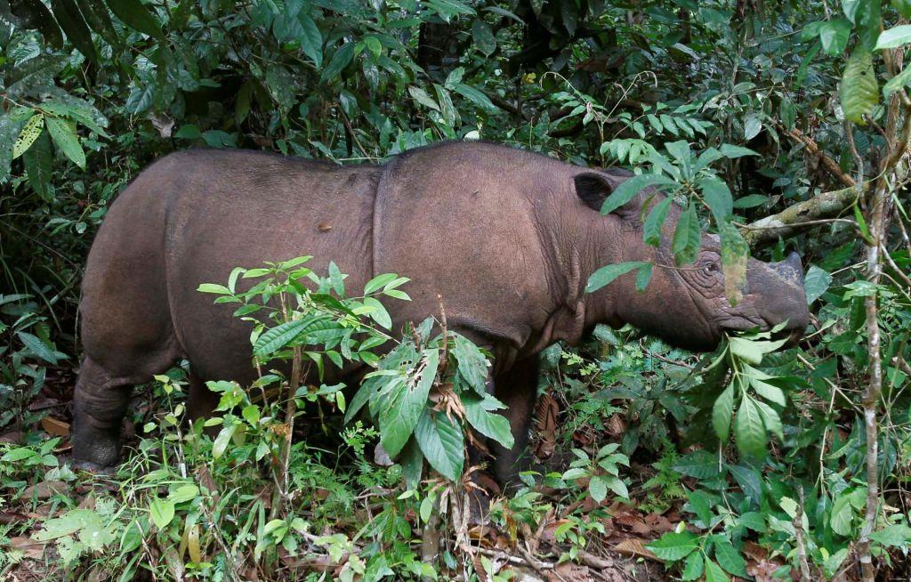 V Maleziji ni več sumatranskih nosorogov